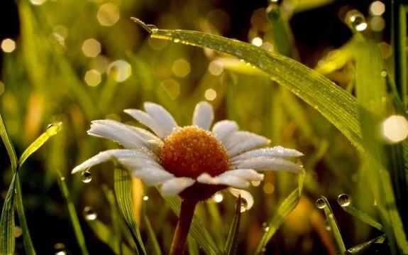 wet-daisy-desktop-background-597453